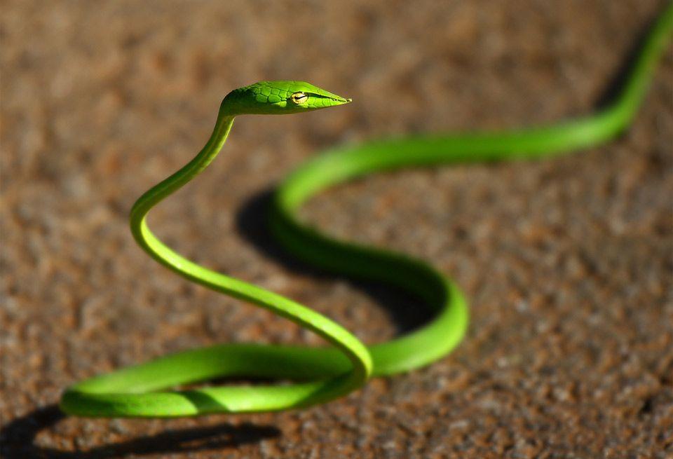 Green Whip Snake Photo 画像あり 爬虫類 ヘビ 動物