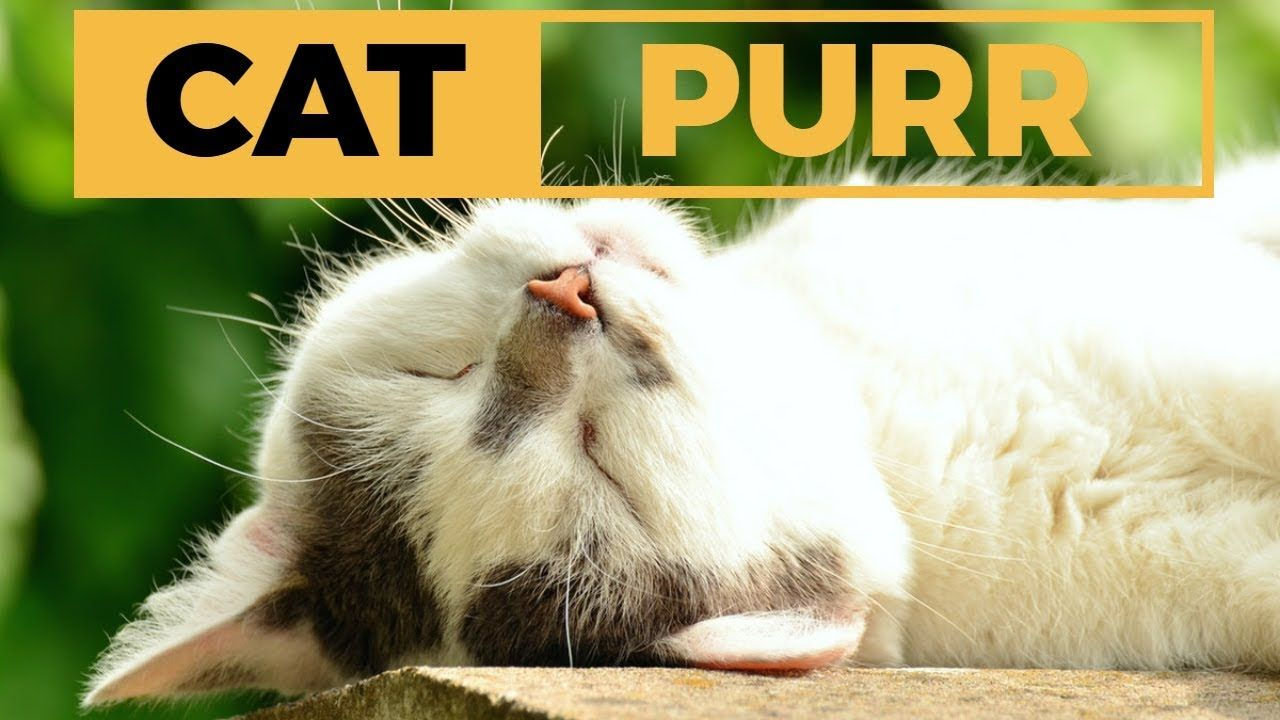 Relaxing Cat Purr Sound Purring Cat White Noise For Relaxation Deep S Pets Cat Shots Animals