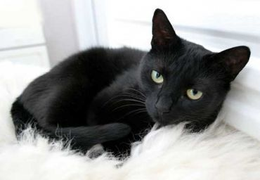 Egyptian Mau Vs Russian Black White Or Tabby Cat Breeds