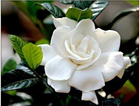 Gardenia Mom S Favorite 3 Flowers Nature Flower Beauty Love Flowers