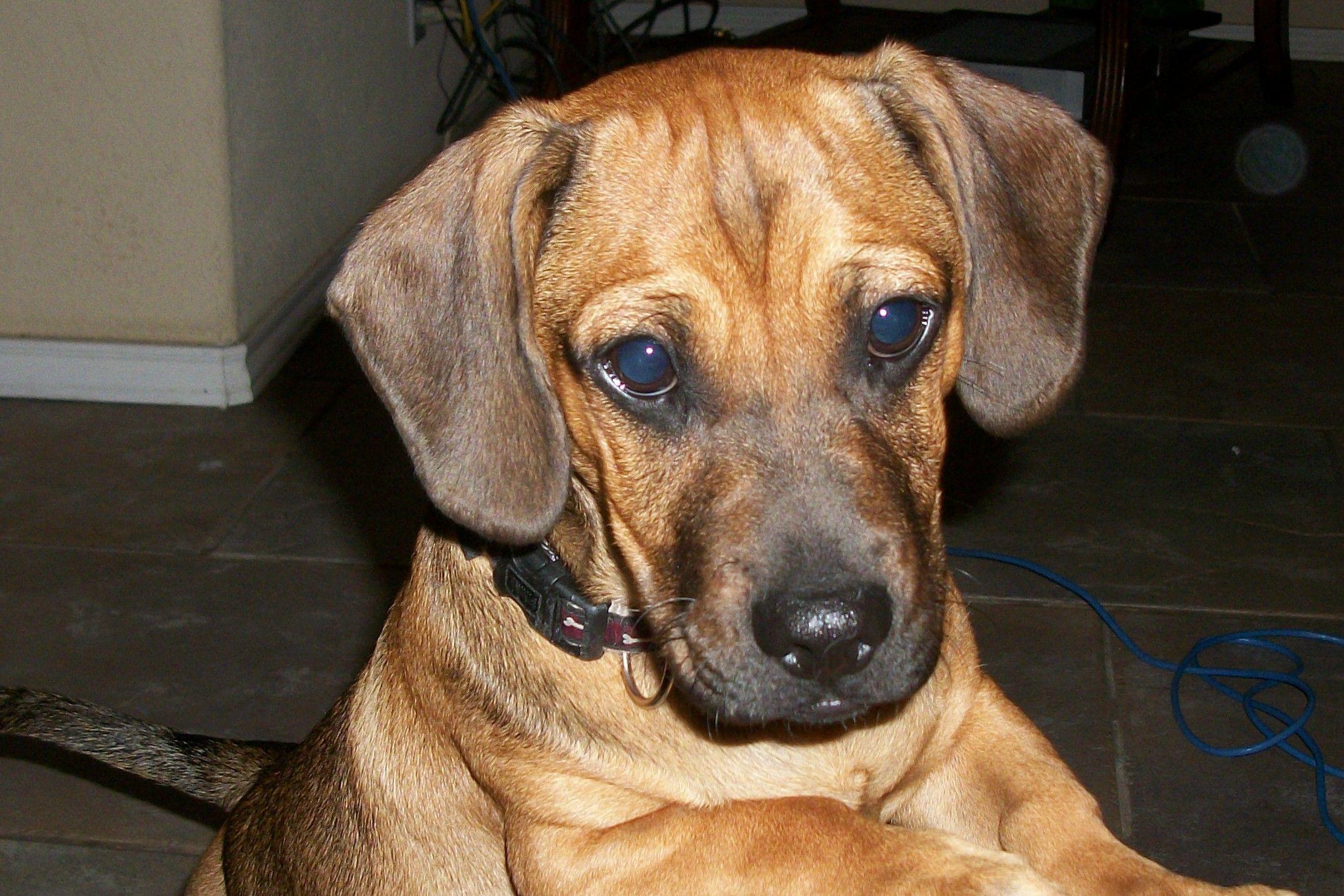 Information On Pug Dachshund Mix Puppies Daug Daugs Peiner Dogs