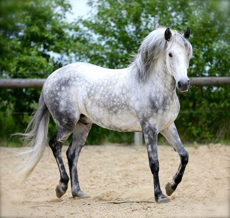 Quarter Horse Dapple Gray