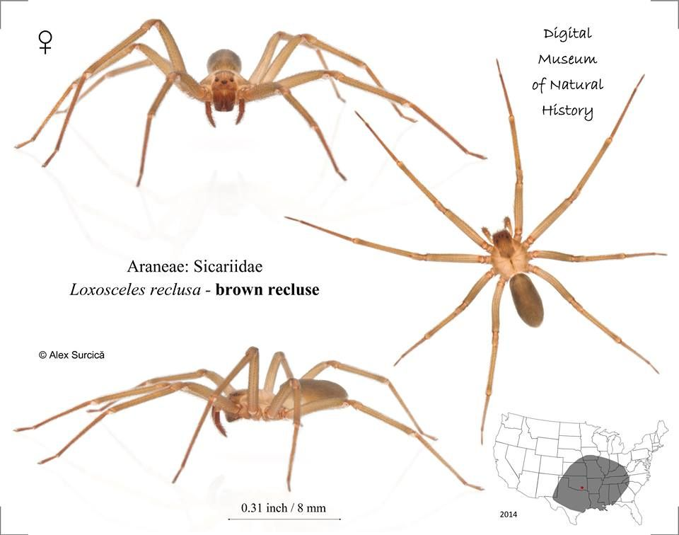 The brown recluse spider or violin spider, Loxosceles reclusa ...