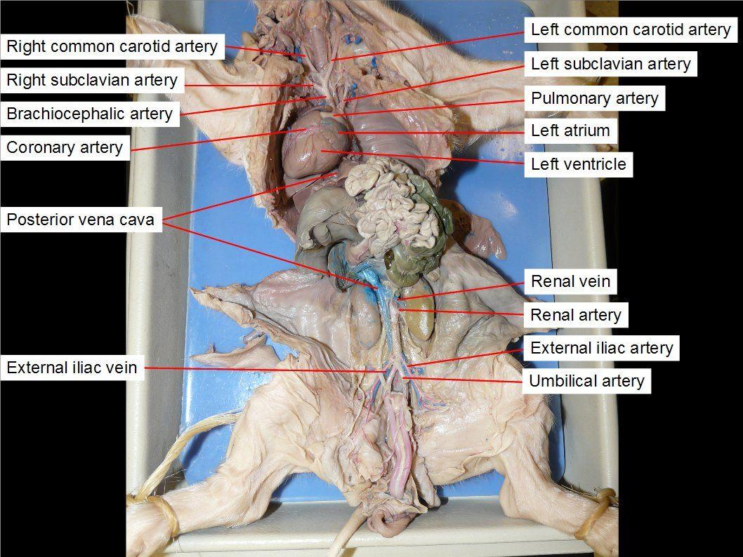 Fetal Pig Reproductive System Diagram 1992 Ezgo Marathon Wiring Dissection Pictures Biology Anatomy