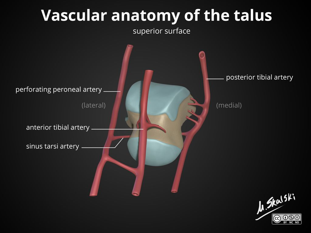 The talus is a bone in the hindfoot that articulates with the tibia ...