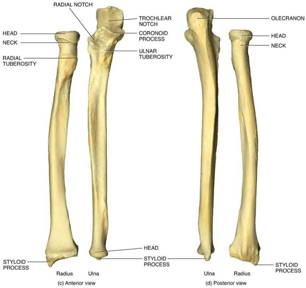 Anatomy Of Ulna Bone 6 Best Images Of Ulna Blank Diagram