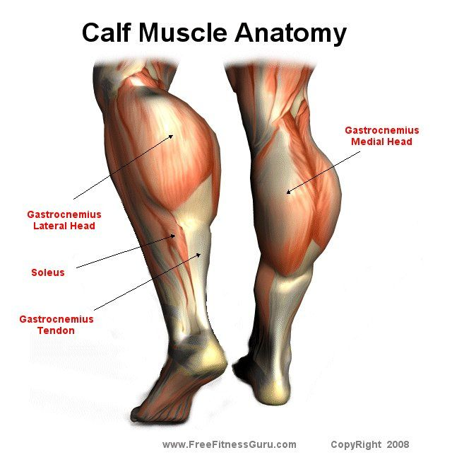 Pin By Howard Long On Muscle Anatomy Pinterest Calf Muscles