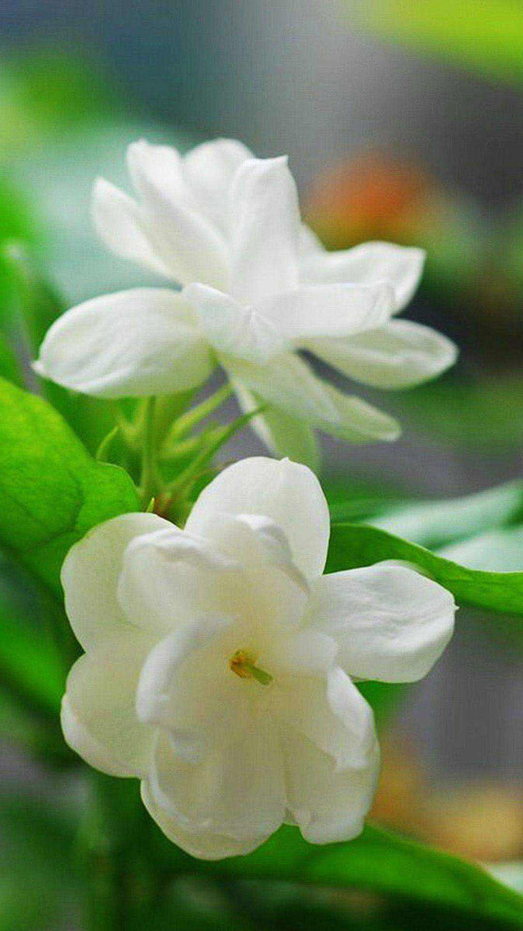 Jasmine Flower Macro Iphone 6 Plus Wallpaper Iphone 6