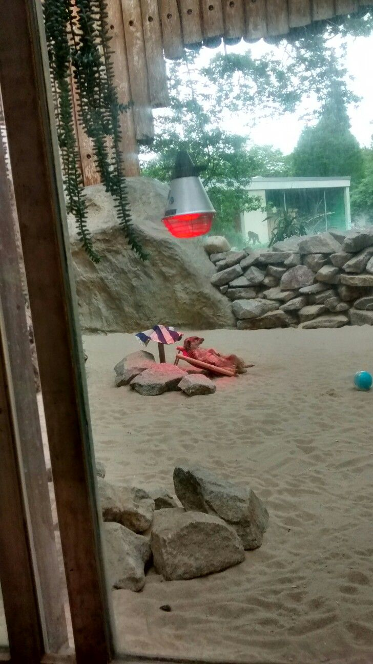 Luxury So wohl f hlen sich Erdm nnchen im Karlsruher Zoo