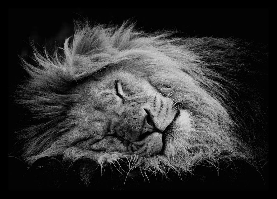The #lion sleep tonight~♫