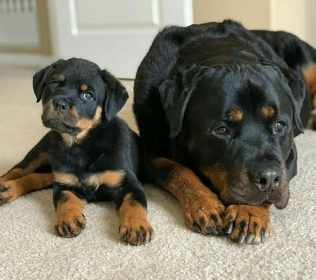 Pin by patty on 1 rottie in 2020 rottweiler dog