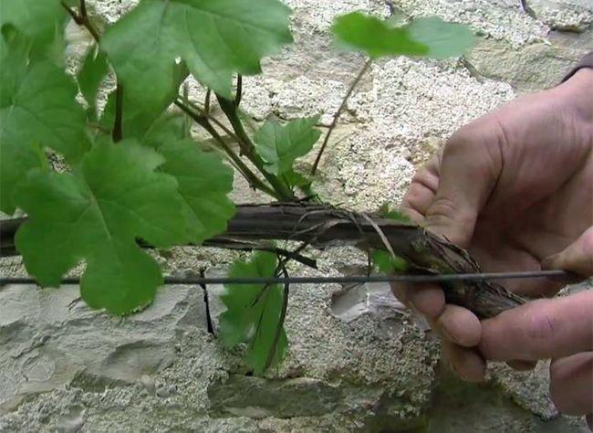Réussir la taille en vert d'une vigne de treille : pas-à-pas | Vigne, Palissage vigne et Taille ...