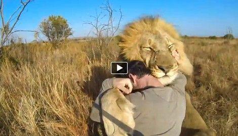 The lion whisperer kevin richardson has a good morning greeting the lion whisperer kevin richardson has a good morning greeting with his pride of lions author link m4hsunfo
