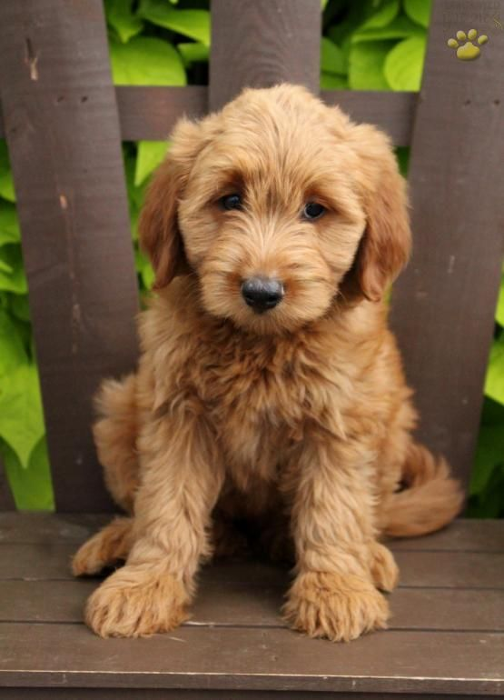 Yaya Mini Goldendoodle Puppy For Sale In Kirkwood Pa