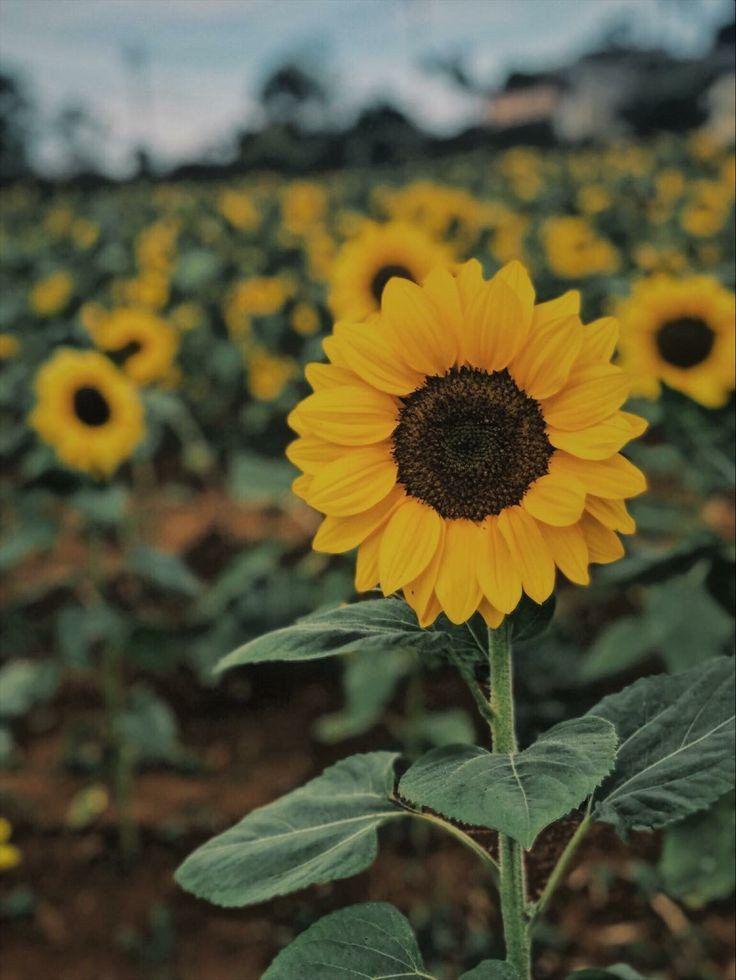 Busyness Sunflowers Background Sunflower Wallpaper