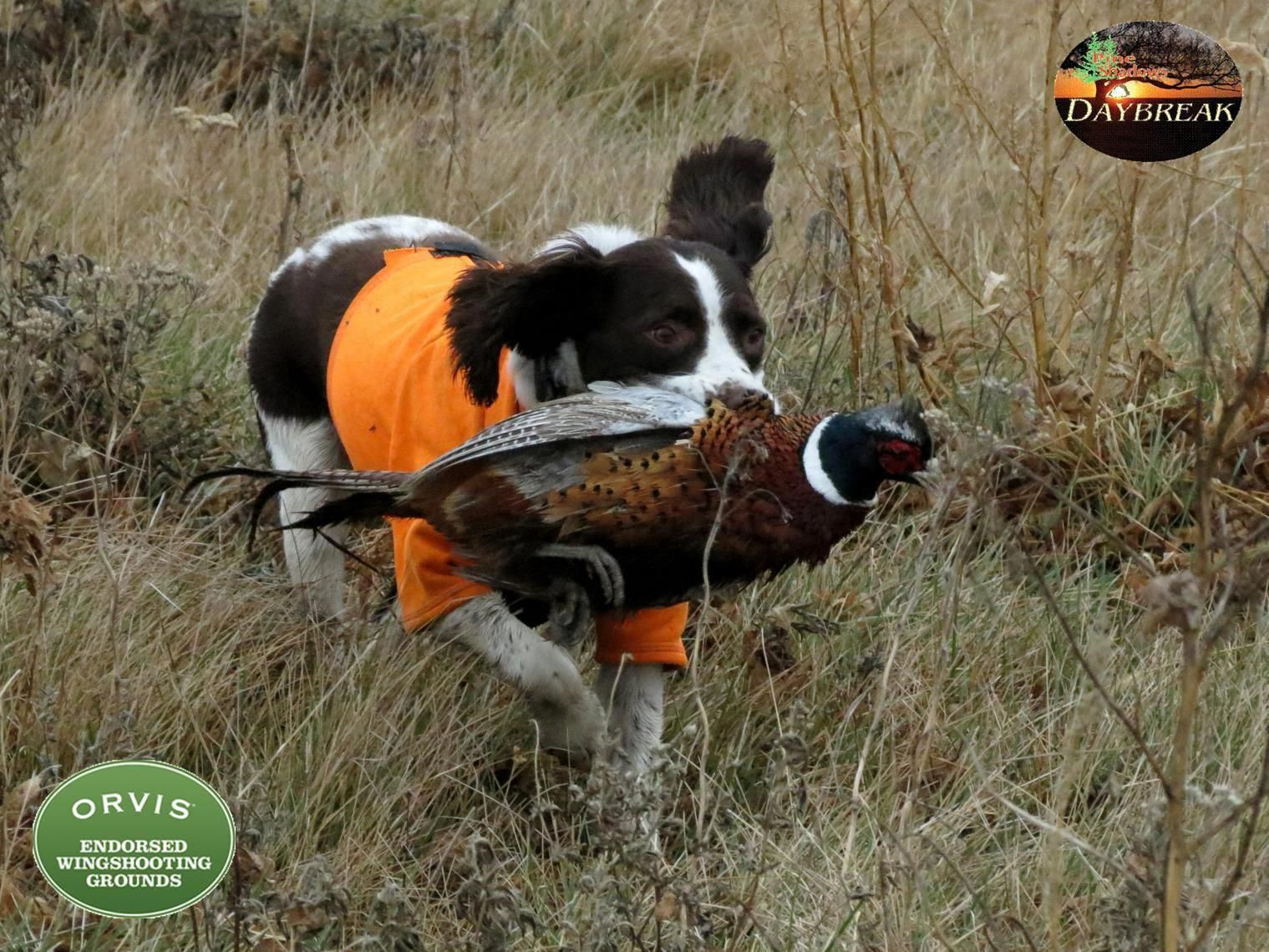 brittany spaniel hunting Google Search pheasanthunting