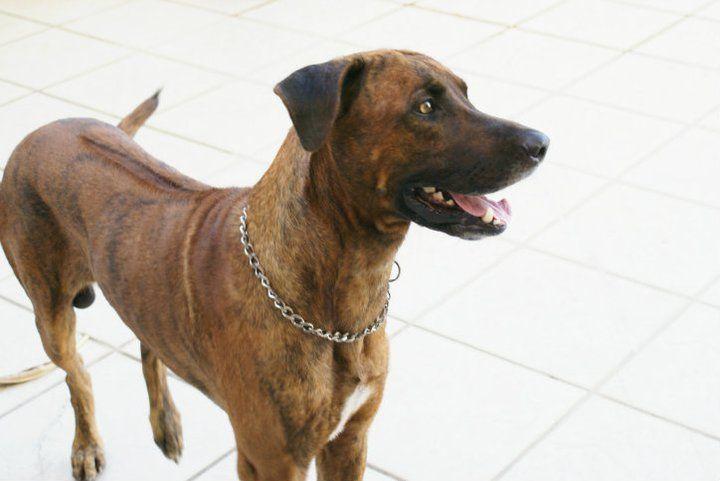 Rhodesian Ridgeback Massai O Dono Da Casa Rhodesian Ridgeback Brindle Dog Life
