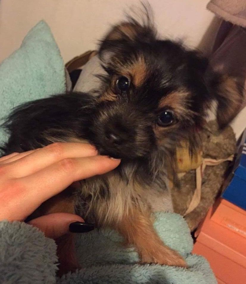 Yorkshire Terrier X Chihuahua Puppy Chorkie Chihuahua Puppies Puppies Yorkshire Terrier