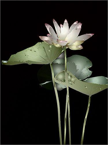 Pin By Elda Almaoui On Fleurs De Lotus Lotus Flower Images Flowers Lotus Flower