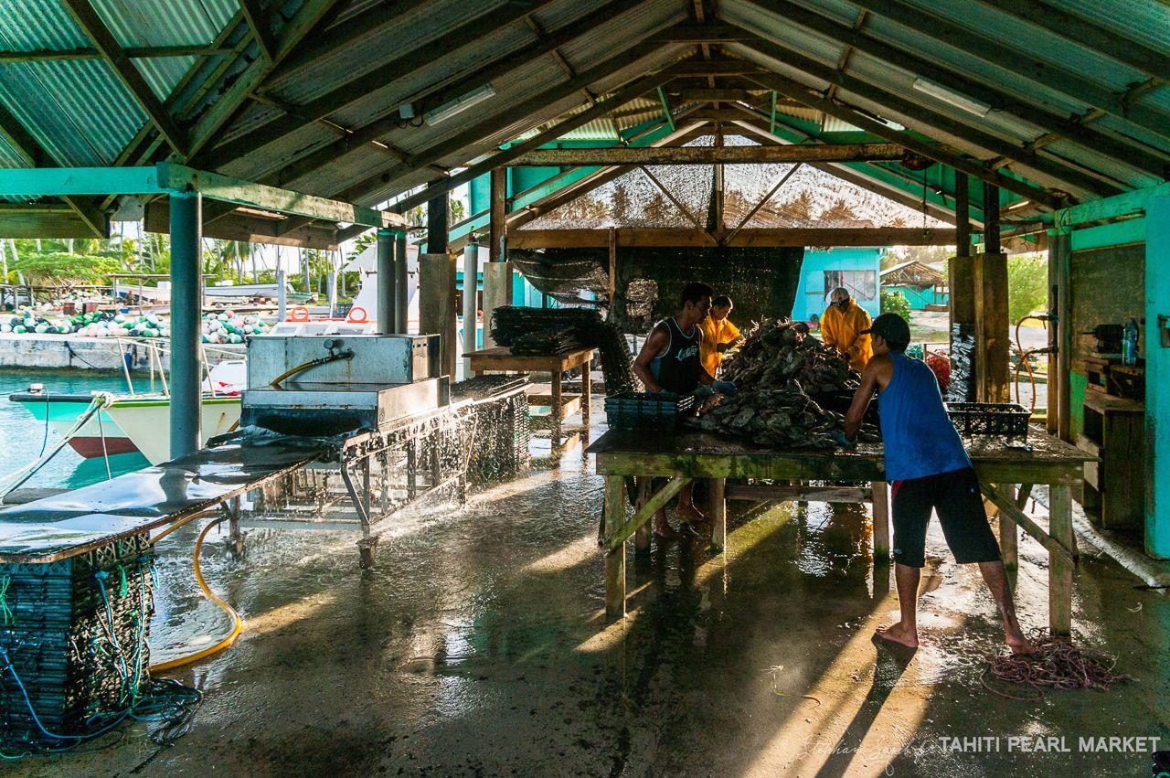 Travail Dans La Salle De Lavage Pearl Farm Tahiti French Polynesia