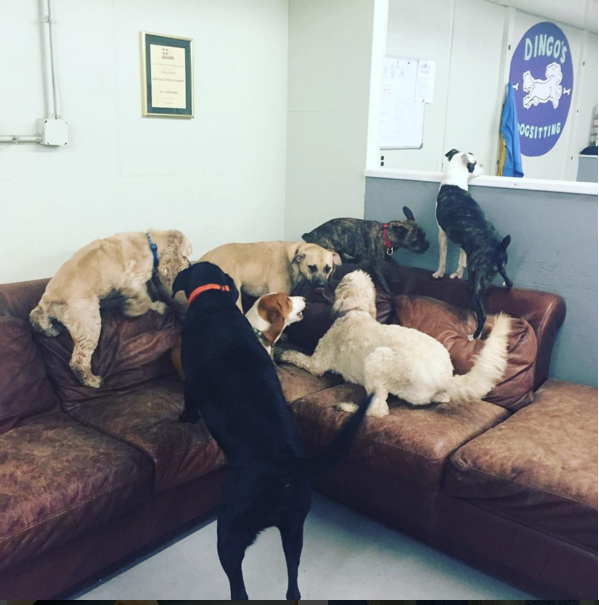 Indoor fun on a rainy day! dingos dogsitting #BlackLab #CockerSpaniel #goldendoodle #frenchbulldog #bostonterrier #BassetHound #goodoldfashionmutt