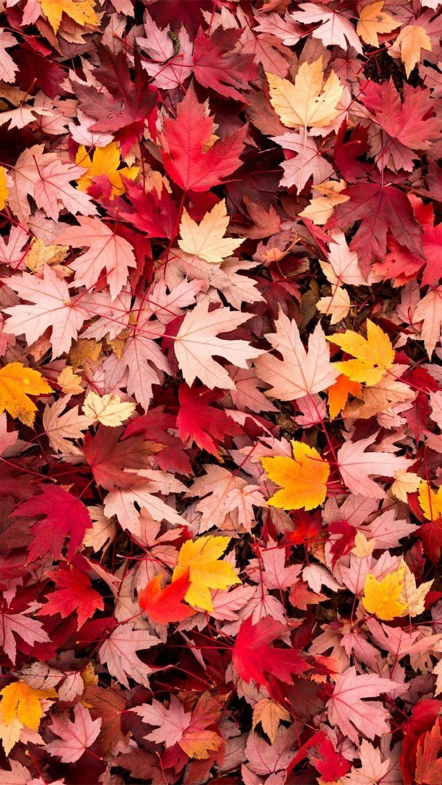 Herbstlaub drucken - perfekt für den Herbst fall wallpaper #fallwallpaperiphone