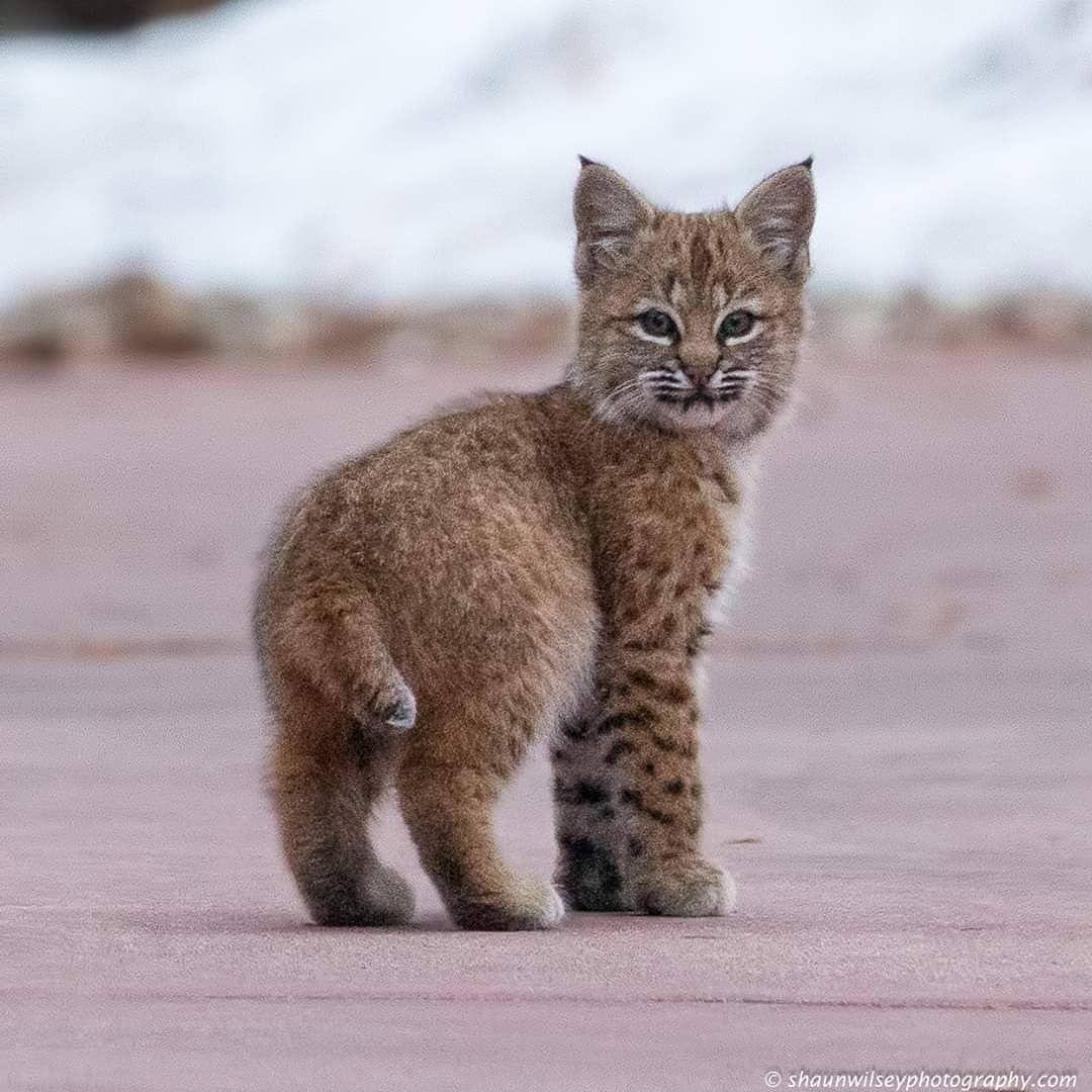 Bobcat Kitten Still Growing Into Its Fur Photo By Shaun Wilsey In 2020 Bobcat Kitten Rare Cats Wild Cats