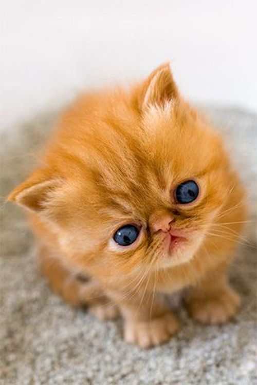 orange persian kitten | Kittens | Kittens cutest, Cute ...
