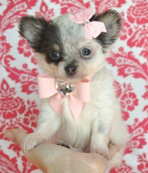 Teacup Chihuahua Princess Blue White Long Hair Sold Moving To