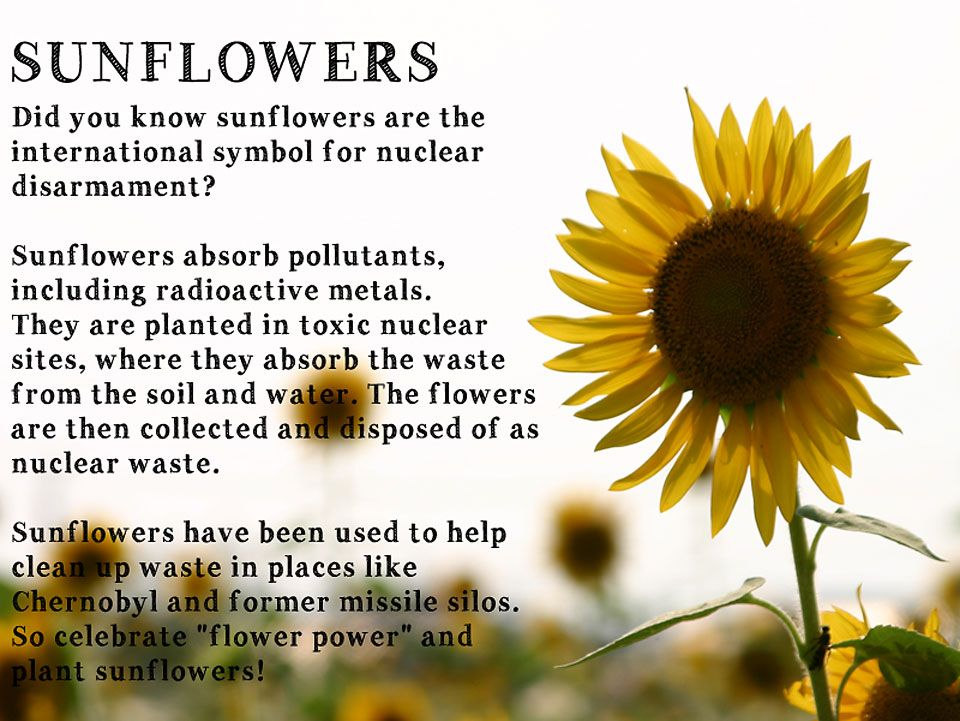 The Yellow Wallpaper Symbolism Quotes Sunflowers Did You Know Sunflowers Are The International