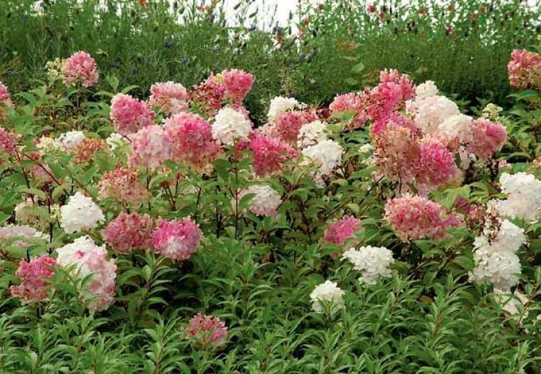 hortensia 39 vanille fraise 39 39 renhy 39 les fleurs de mon. Black Bedroom Furniture Sets. Home Design Ideas