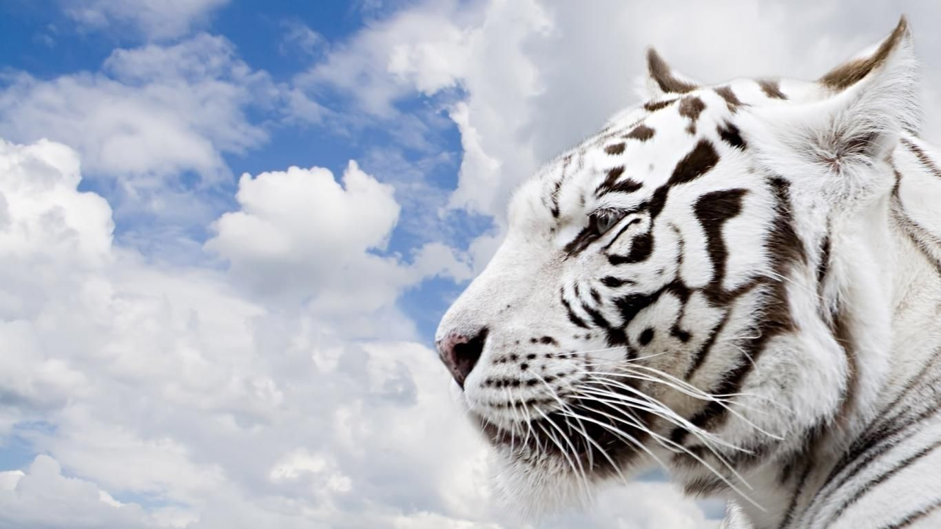 White Tiger With Blue Eyes Wallpaper Wallpapers White Wolf With