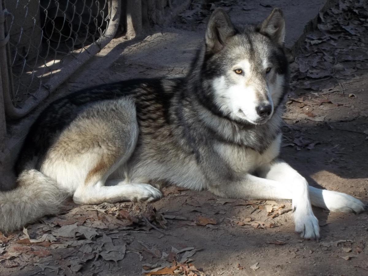 german shepard Wolf Hybrid | ... Hybrid Pups((Dad Timber ...