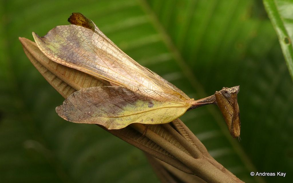 Leaf Mantis Metilia Brunnerii Or Metilia Integra Stick Insect Praying Mantis Ecuador