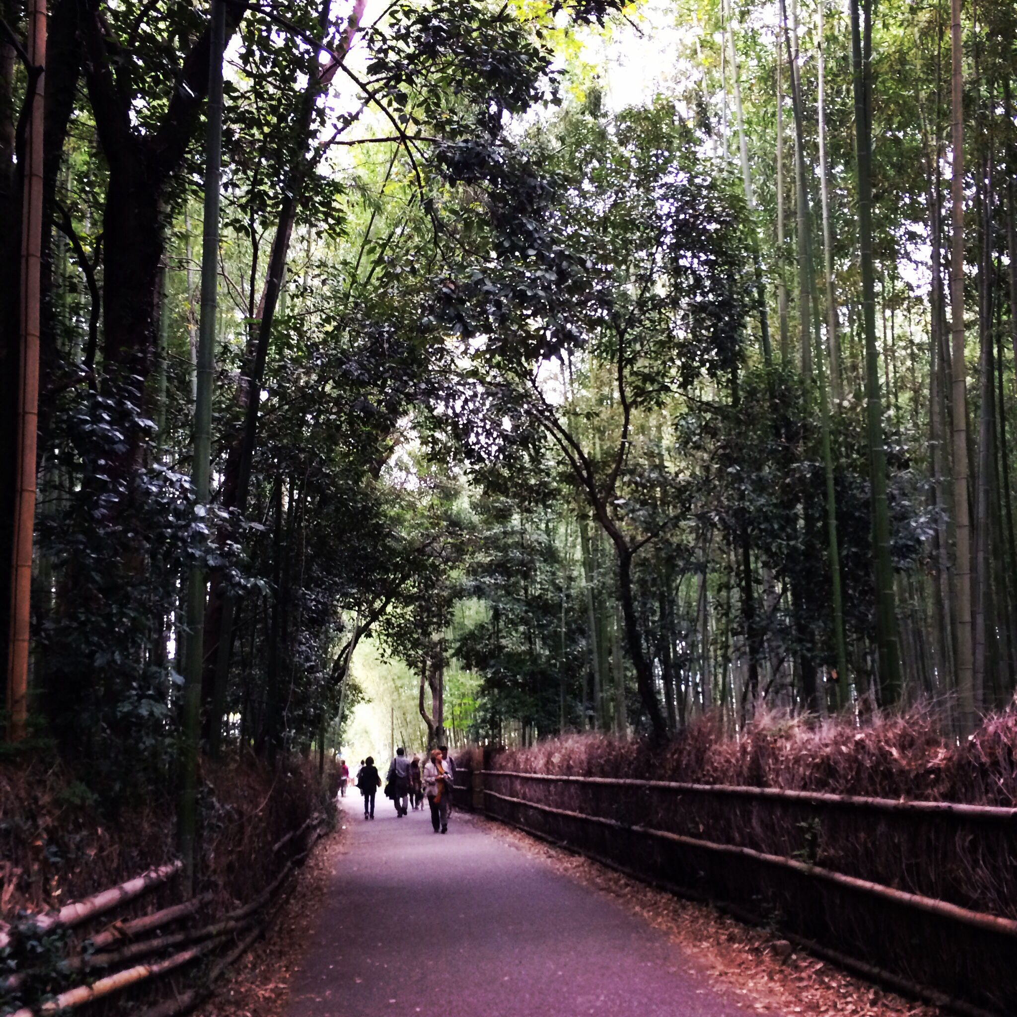 Arashiyama bamboos. Kyoto Japan