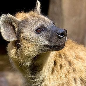 Hyena Head Only Recherche Google Tattooing Inspiration And High