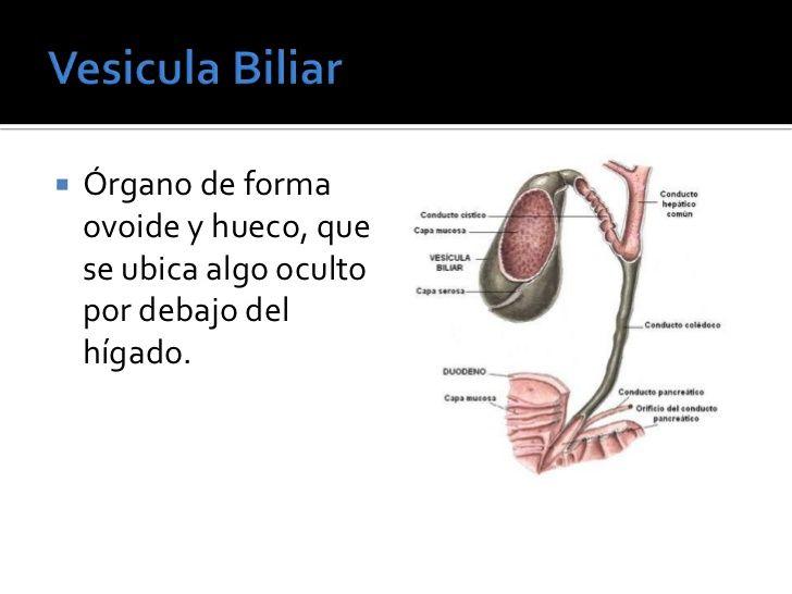 Anatomia y fisiologia del higado | Ejercicio | Pinterest | Anatomía ...