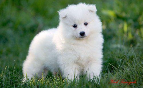 Chow Samoid Dog Puppy