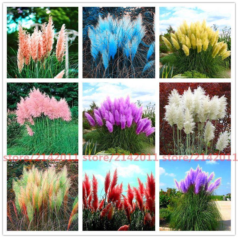 u0e14 u0e17 u0e2a u0e14 400pcs  bag pampas garsspampas seedspampas grass plantornamental plant flowers cortaderia