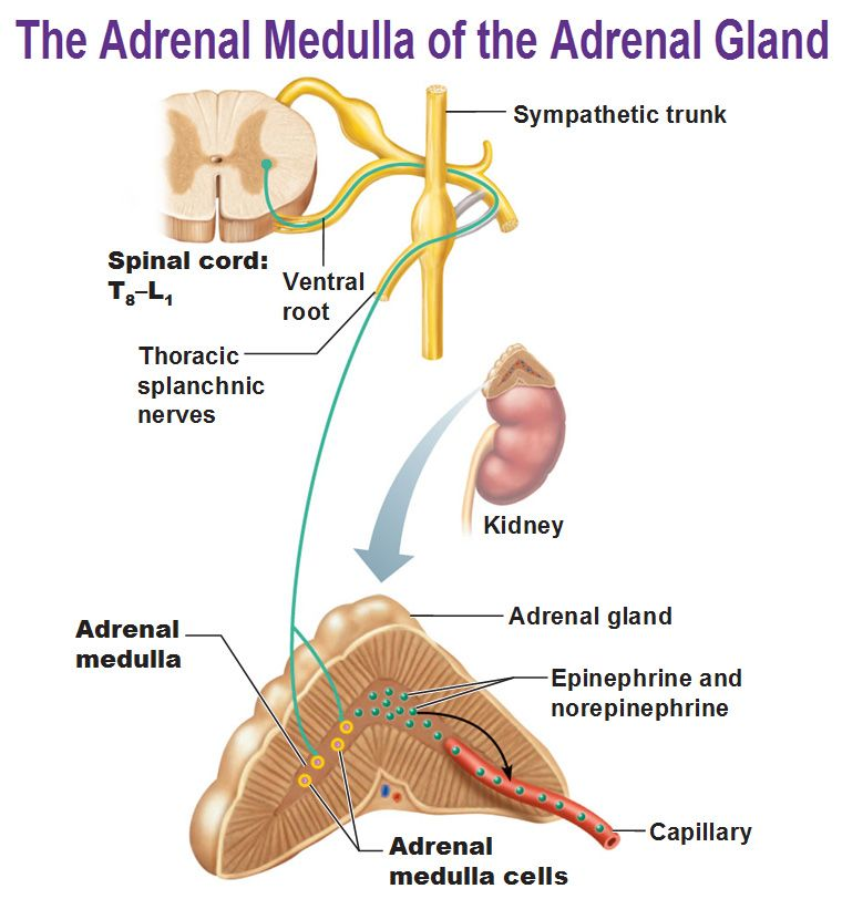 Adrenaline Epinephrine Is The Hormone Produced By The Adrenal