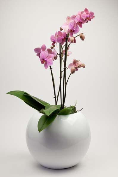 blumentopfhalter selber bauen, triple stem pink phalaenopsis orchid in elegant white globe planter, Design ideen