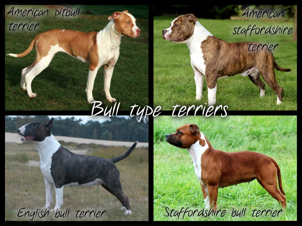 Bull Type Terriers Because Many People Can T See The Difference