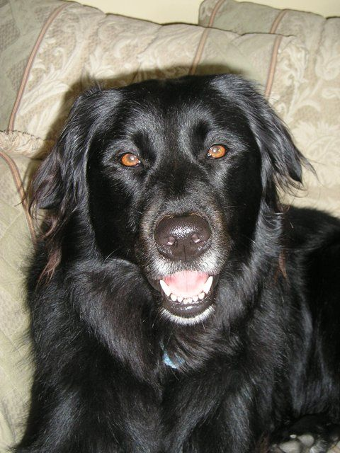 rio, june 2005, flat coat retriever (other wise known as the trash-compacter)