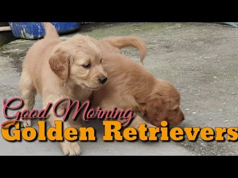 Beautiful Quality Golden Retriever Pups Ready From Boskys Kennel