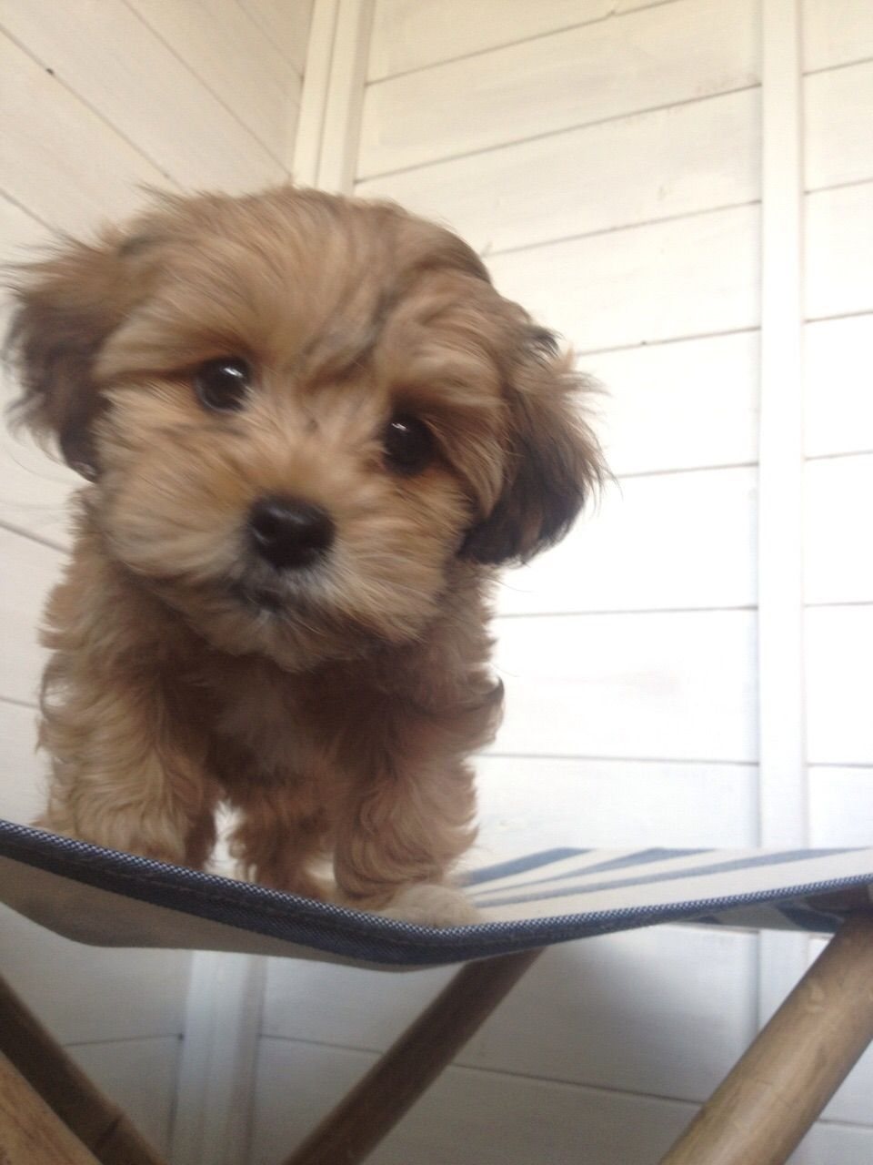 Bailey Lhasa Poo With Images Poodle Mix Lhasa Lhasa Apso