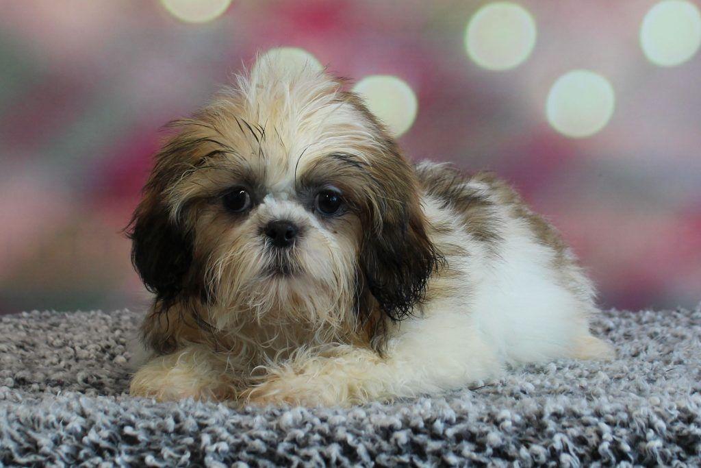 Mini Small Breed Puppies For Sale Minnesota Valley View Puppies Valley View Puppies In 2020 Puppies Breeds Pomeranian Full Grown