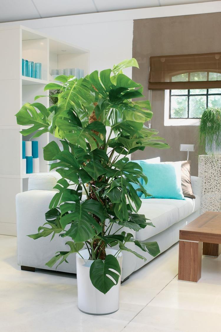 Fensterblatt Monstera Trendpflanze im Interior #garden #house