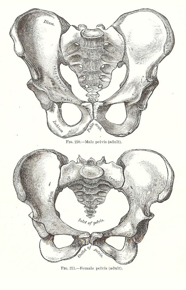 Male and female pelvis. Female pelvis has evolved to its maximum ...
