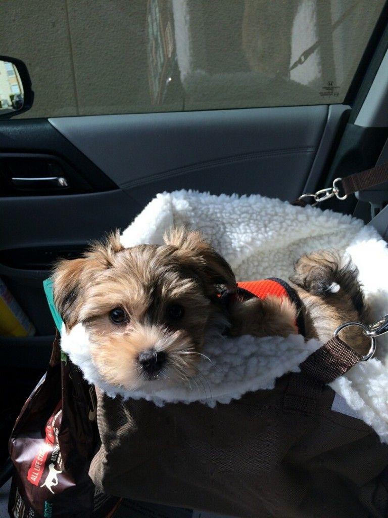 Havanese Puppies Heavenly Havanese, Imlay City, Michigan