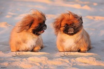 Pekingese Pekingese Pekingese Dogs Dog Poster
